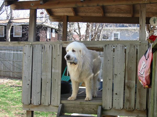 He Likes The Pyr Play House See Picture We Also Heard Is A Real Mama S Boy Baby Ghost Was Confied With 42 Other Pyrenees From